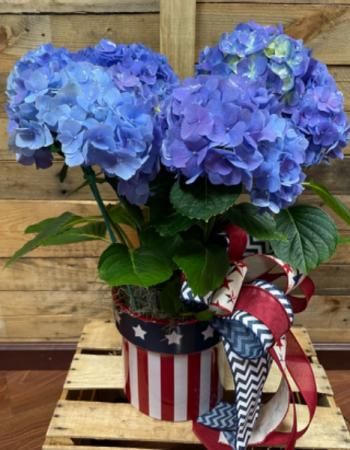 Glory Blue Patriotic plant