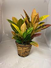 Golden Croton Planter