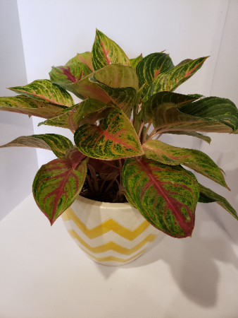 Golden Florite Plant