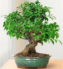 Golden Gate Ficus 10 Year Specimen Bonsai  ROMA FL