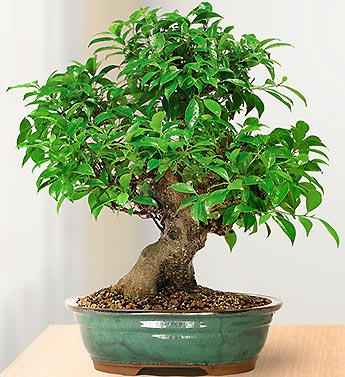 Golden Gate Ficus 10 Year Specimen Bonsai Roma Fl In Oakville Ct Roma Florist Free Delivery Order Online