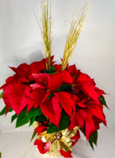 """Golden Greetings"" Medium Poinsettia"
