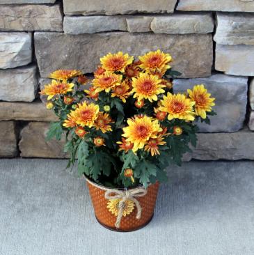 Golden Mum - Orange Blooming Fall Plants
