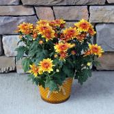 Golden Mum - Yellow Blooming Fall Plants