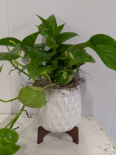 Golden Pathos Plant