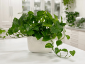 GOLDEN POTHOS PLANT