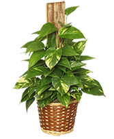 GOLDEN POTHOS PLANT Scindaspus aureus