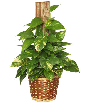 GOLDEN POTHOS PLANT Scindaspus aureus in Houston, TX | Mary's Little Shop Of Flowers