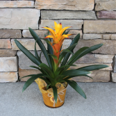 Golden Tourch Bromeliad Blooming House Plant