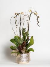 Golden Winter Glow Phaleanopsis Orchid in a pot