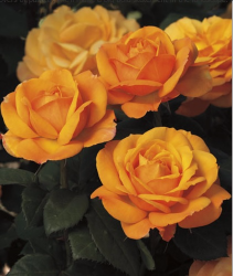 Good As Gold 5 gallon - Hybrid Tea