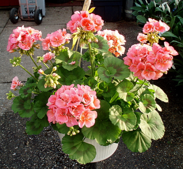 Gorgeous Geraniums Hanging Outdoor