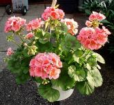 Gorgeous Geraniums Outdoor Plants