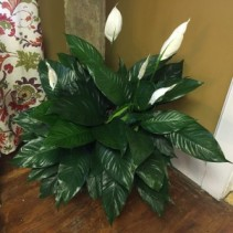 Gorgeous Peace Lily