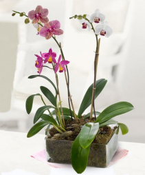Gorgeous Variety of Orchids Planter of Beautiful Orchids