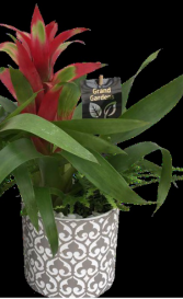 Grand Bromelied Plant