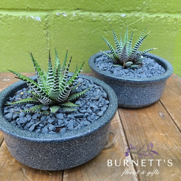 Granite Haworthia Garden Plant