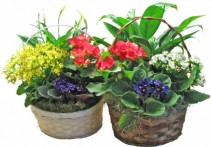 Green and Blooming baskets Dish Garden