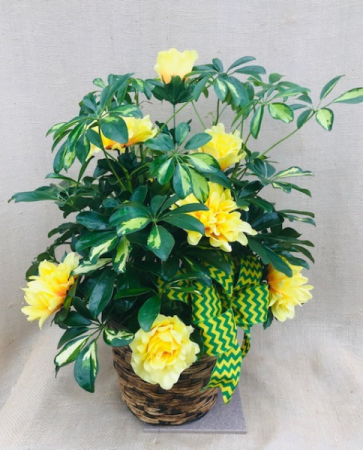 Green And Gold Forever Schefflera Arboricola Plant