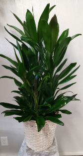 Green Cordyline Plant