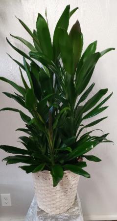 Green Cordyline Plant