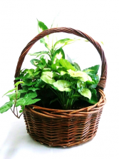 Green Houseplant Garden in Handled Wicker Basket Dish Garden