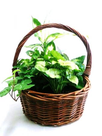 Green Houseplant Garden in Handled Wicker Basket Dish Garden