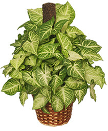 GREEN NEPHTHYTIS PLANT  Syngonium podophyllum