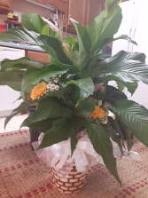 green peace lily plant with fresh flowers plant and fresh flowers