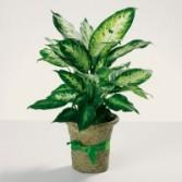 Green plant 6 Inch plant