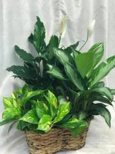 Green Plant Basket  3 plants in 6