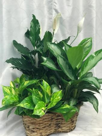 """Green Plant Basket  3 plants in 6"""" Pots"""