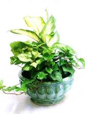 Green Plant Garden in Ceramic Dish Garden
