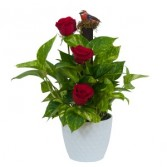 Green plant in ceramic with fresh roses Arrangement