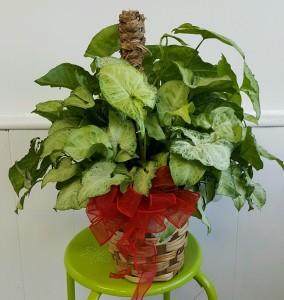 GREEN PLANT PLANTS
