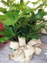 green scheffelera plant  green plant