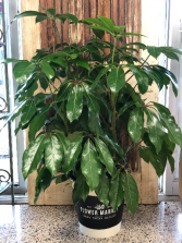 Green Schefflera Plant
