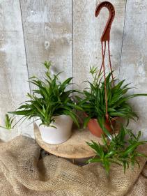 Green Spider Plant Hanging Basket or in Ceramic Pot