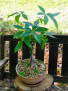 Growing Fortunes Potted Money Tree