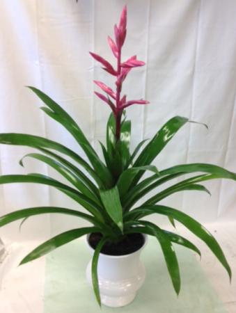 Guzmania Hybrid Green plant