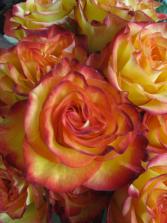 Half Dozen High Magic  Roses