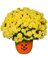 "Halloween Mum 8"" Blooming Plant"