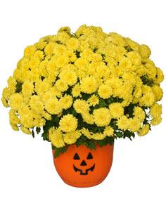 "Halloween Mum 8"" Blooming Plant"