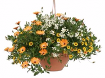 Hanging Basket #4 Request Sun or Shade Pots