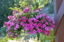 Hanging Basket - Pink/Purple