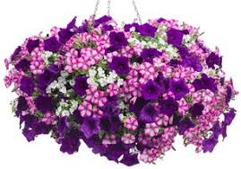 Hanging Basket Annual Flowers