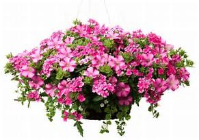 Hanging Basket Annual Hanging Basket
