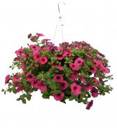 "Hanging Basket Blooming 10"" Hanging Basket of annuals to be enjoyed all summer"