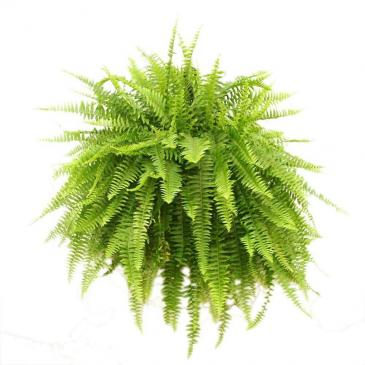 Hanging Basket- Giant Boston Fern shade Greenhouse
