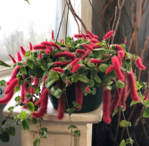 Hanging Basket- Chenille Greenhouse